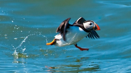 1-pete-hewitts-puffin-hi-res