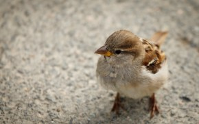 6890265-cute-sparrow-pictures