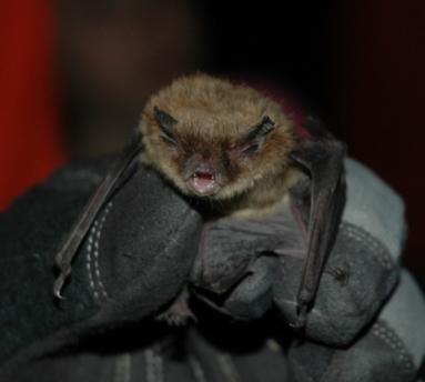 little-brown-bat